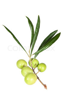The branch of fresh olives on a white background