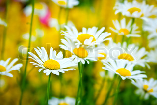Field of beautiful daisies flowers