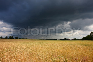 Wheat field before storm in summer