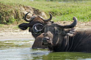 African Buffalos in sunny ambiance