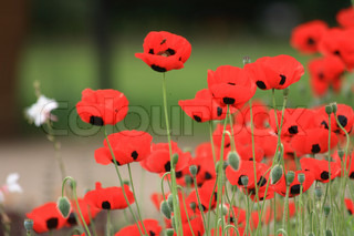 red poppy flowers from the spring on the green background