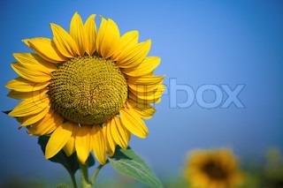 Smuk gul solsikke på foråret marken Shoot blev taget med varm polariseret filter