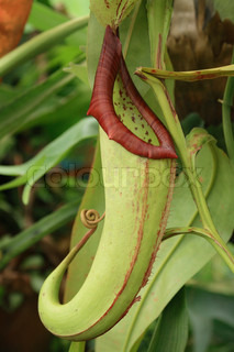 very nice natural carnivorous plant from the garden