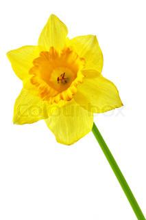 Enkelt gul påskelilje isoleret over den hvide baggrund