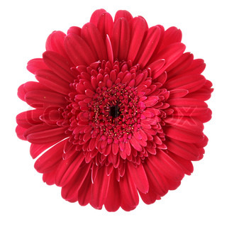 Red daisy flower isolated over white background