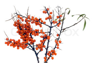 Ripe winter sea-buckthorn berries on branches isolated  Berries - it is a source of medicine vitamins