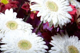 Bunch of the white and red chrysanthemum flowers