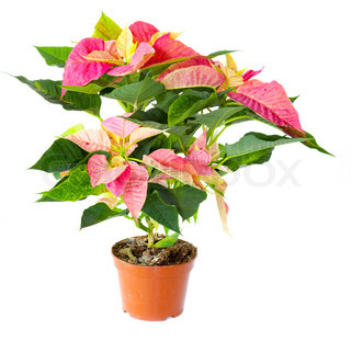 Poinsettia plant isolated against white background