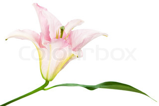 smuk lyserød lilje på hvid baggrund