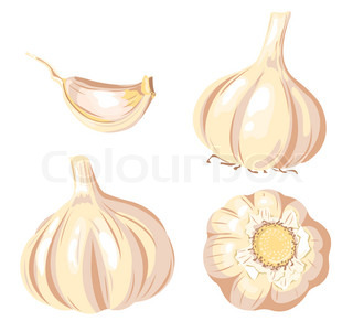 Garlic set Four images Isolated on white Vector illustration