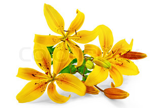 Three yellow lilies with green leaves isolated on white background