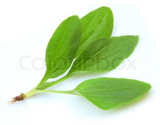 Plantain Plantago process on a white background close up