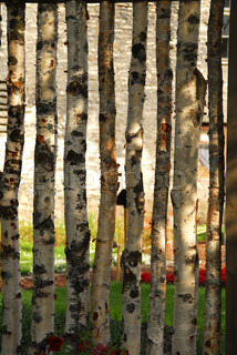 Fence made of young birch trees on a green meadow