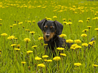 The small dog sits among yellow flowers