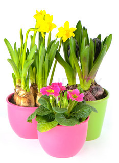 fresh colorful spring flowers. hyacinth, pink primulas, yellow daffodils