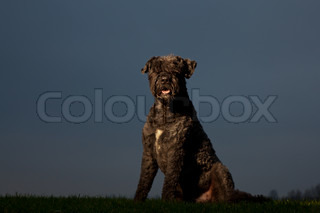 Black Bouvier Des Flandres sitting with touch of light on its face