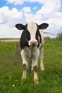 cute baby cow on farmland with fresh green grass and blue sky