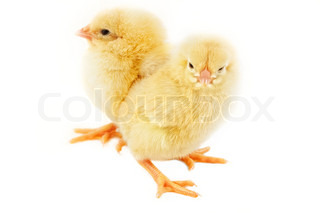 Sweet Easter chicks isolated on white