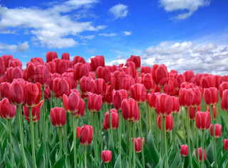 A Field Of Red Tulips Against A Blue Sky