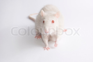 Cute albino rat