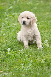 Small puppy with ball - golden retriver