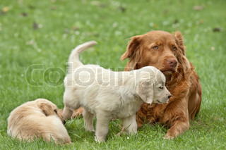 Two puppies golden retriever playing with a big dog