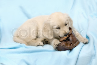 Small puppy with ball - golden retriever