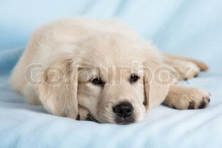 Beautiful small puppy on blue background - golden retriever