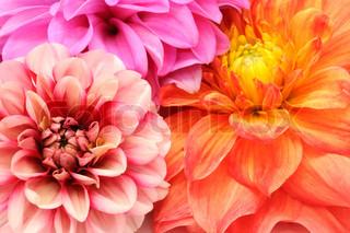 Bouquet af Smukke Flerfarvede Dahlia Flowers Cloes -up
