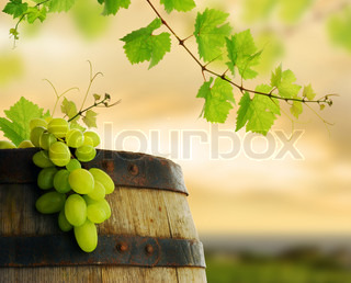 Wine barrel and grapevine with vineyard in background