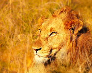 Wild African lion portrait in warm light, game drive animals wildlife safari, Eco travel and tourism, nature of South Africa, Kruger national park, Sabi Sand