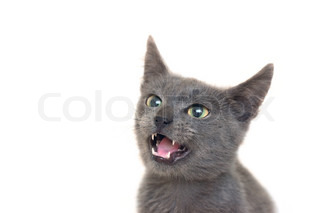 Angry grey cat with yellow-green eyes and opened mouth