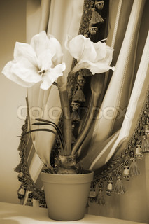 indoor flower on a background of curtains in the apartment