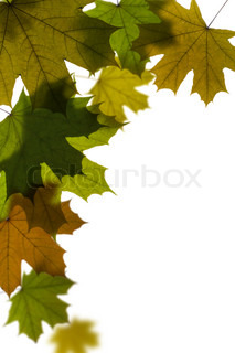 green maple tree leaves background with space for your text