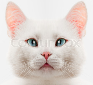 white cat with blue eyes close up
