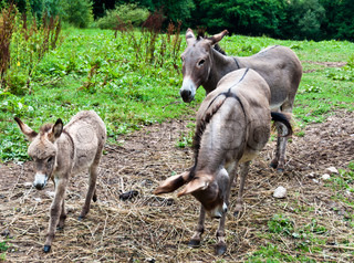 Male and female donkey with smaller child galopping on grass