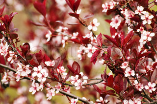 paradise apple flowers and red leaves background