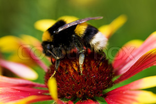big bumblebee on red yellow flower