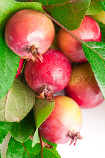 Macro of small wild red apples fruit on branch with leaves wet after rain