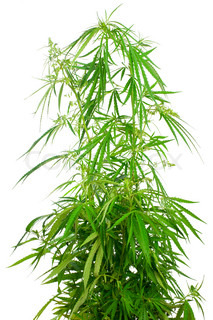 Marijuana plant isolated on white background