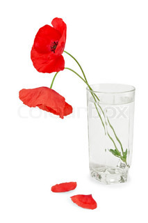 Two red poppy in a glass of water, two fallen petals isolated on white background