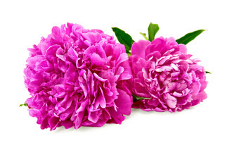 Two bright pink peonies with green leaf isolated on white background