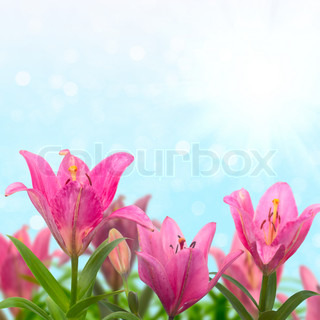 Beautiful meadow with pink lilies in sunny summer day