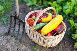 Fresh organic vegetables in a basket and a pitchfork