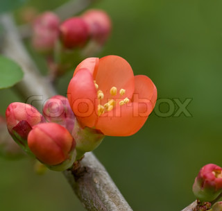 Quince Latin Chaenoméles - a small genus of flowering plants in the family of Rose