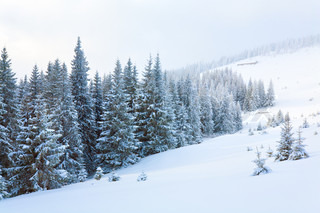 winter calm dull mountain landscape with fir treeson slope Kukol Mount, Carpathian Mountains, Ukraine
