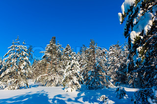 Spruce trees covered by snow on a sunny winter day