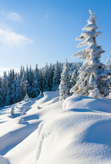Morning winter calm mountain landscape with beautiful fir treeson slope Carpathian Mountains, Ukraine