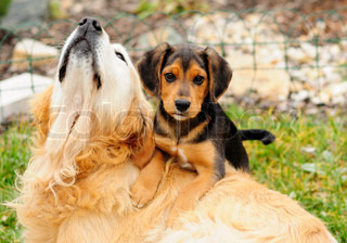 Two dogs retriever and beagle are playing together at garden