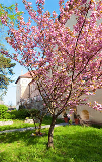 pink japanese cherry tree blossom near Uzhhorod Castle Ukraine